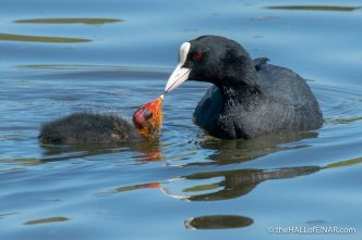 Coot - The Hall of Einar - photograph (c) David Bailey (not the)