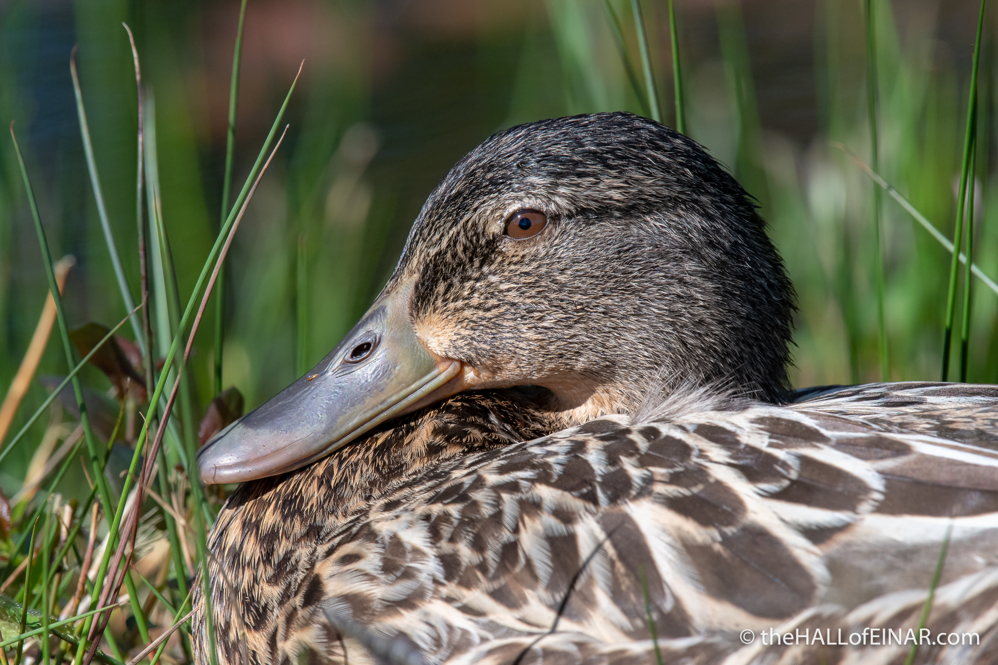 Female Mallard Duck - The Hall of Einar - photograph (c) David Bailey (not the)