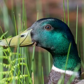 Male Mallard Duck - The Hall of Einar - photograph (c) David Bailey (not the)
