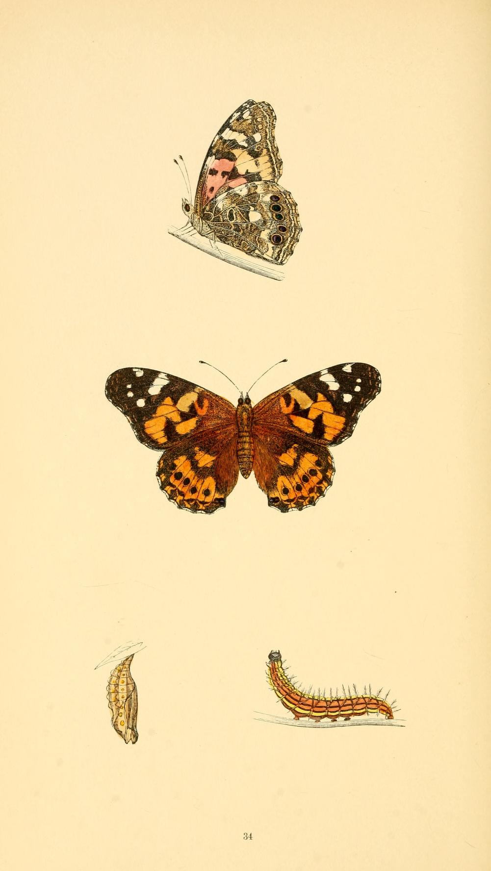 Vanessa cardui - History of British Butterflies