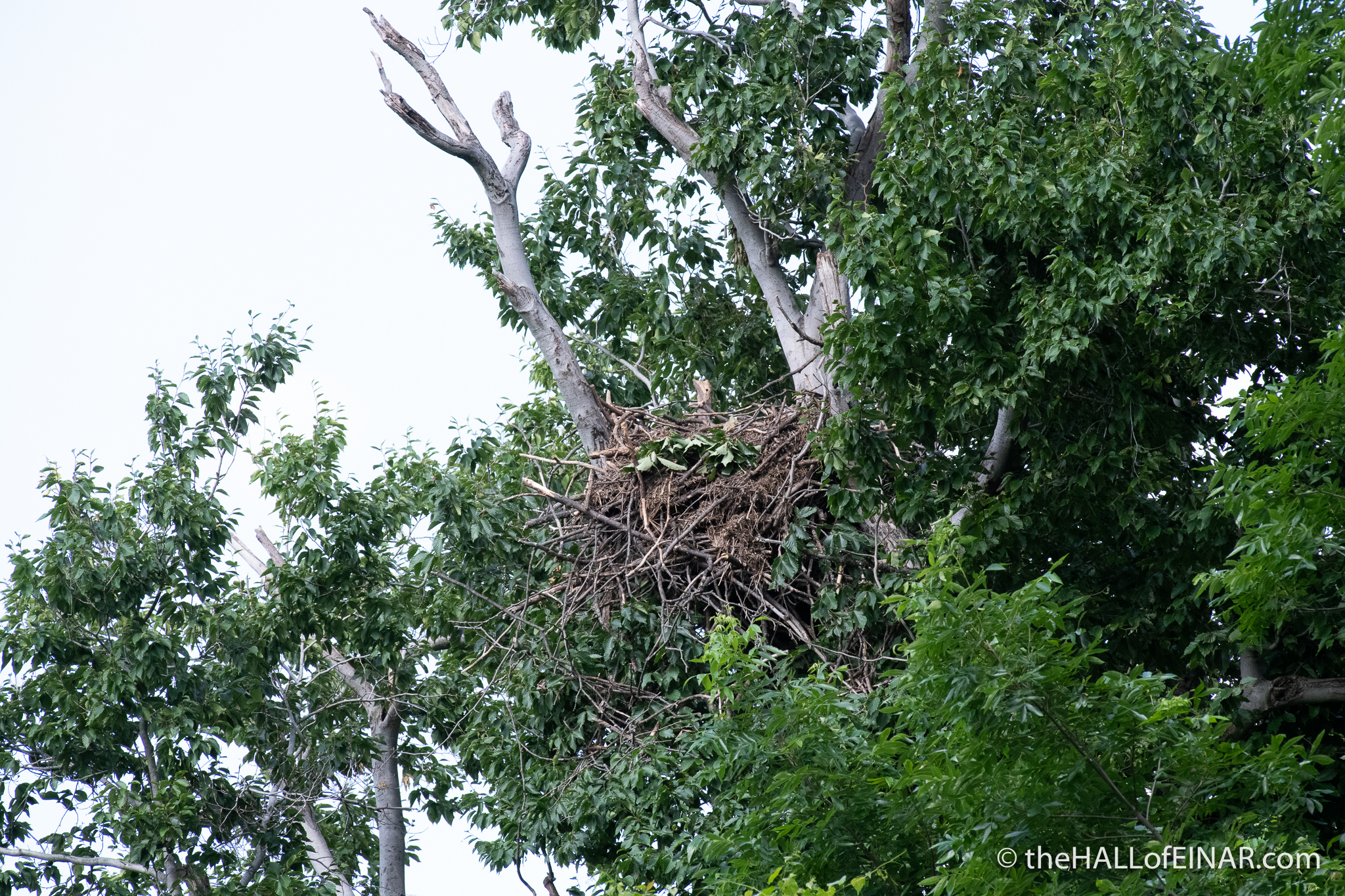Bald Eagle empty nest - The Hall of Einar - photograph (c) David Bailey (not the)