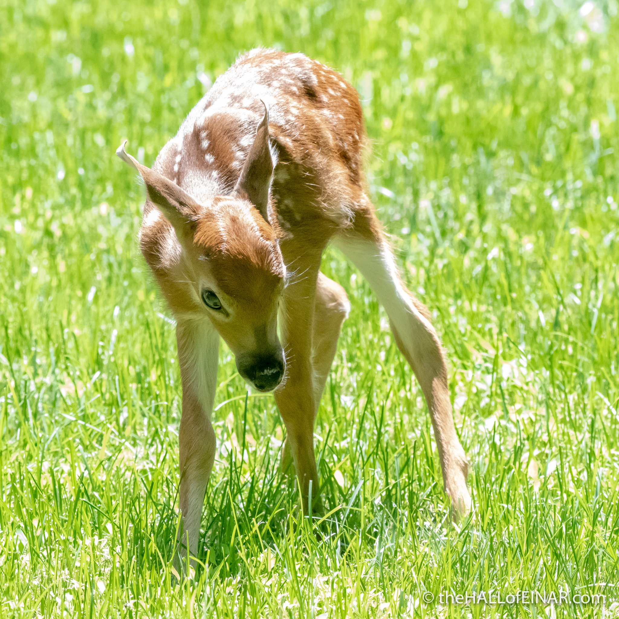 White Tailed Deer fawn - The Hall of Einar - photograph (c) David Bailey (not the)