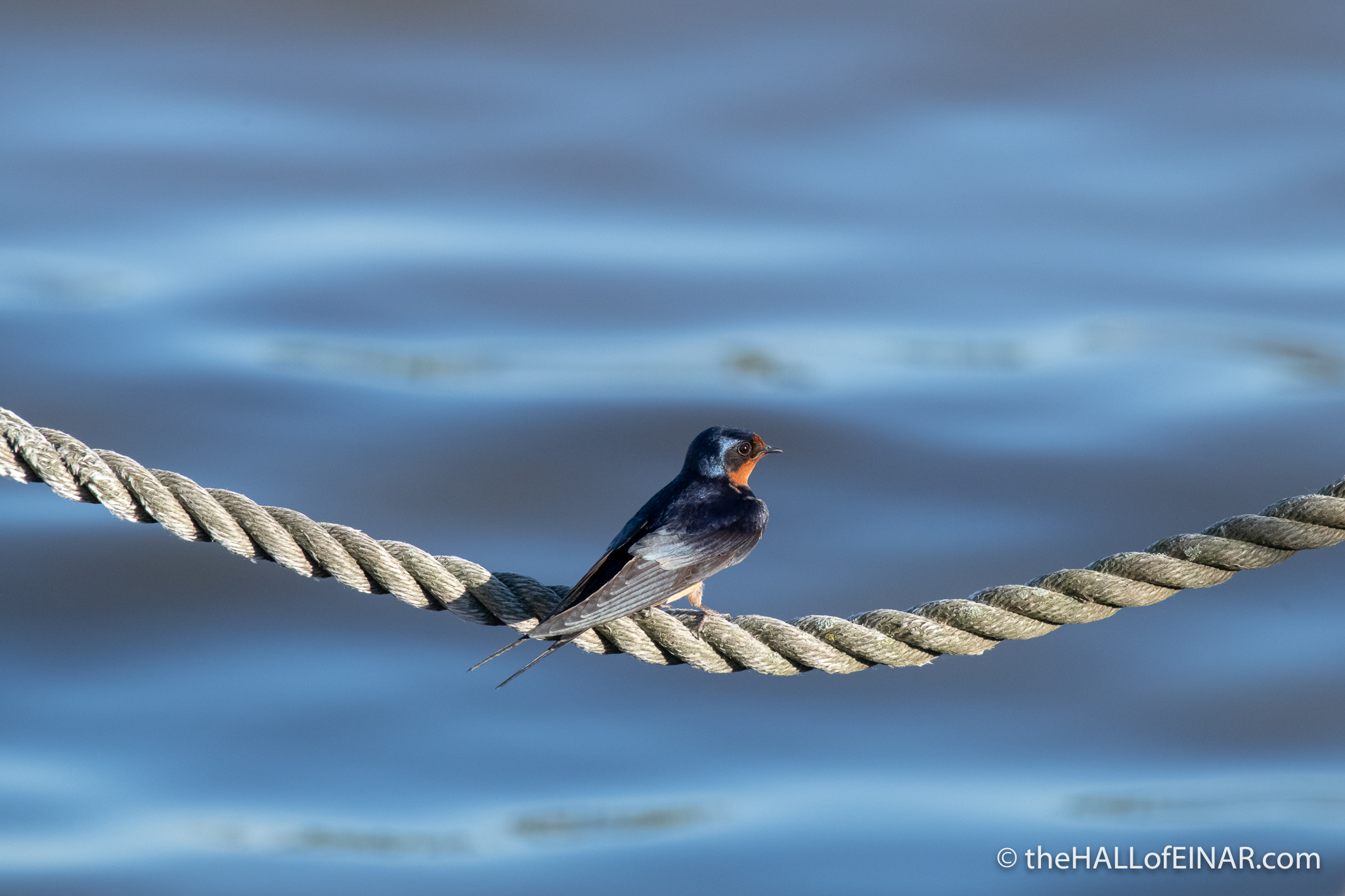 Barn Swallow - The Hall of Einar - photograph (c) David Bailey (not the)