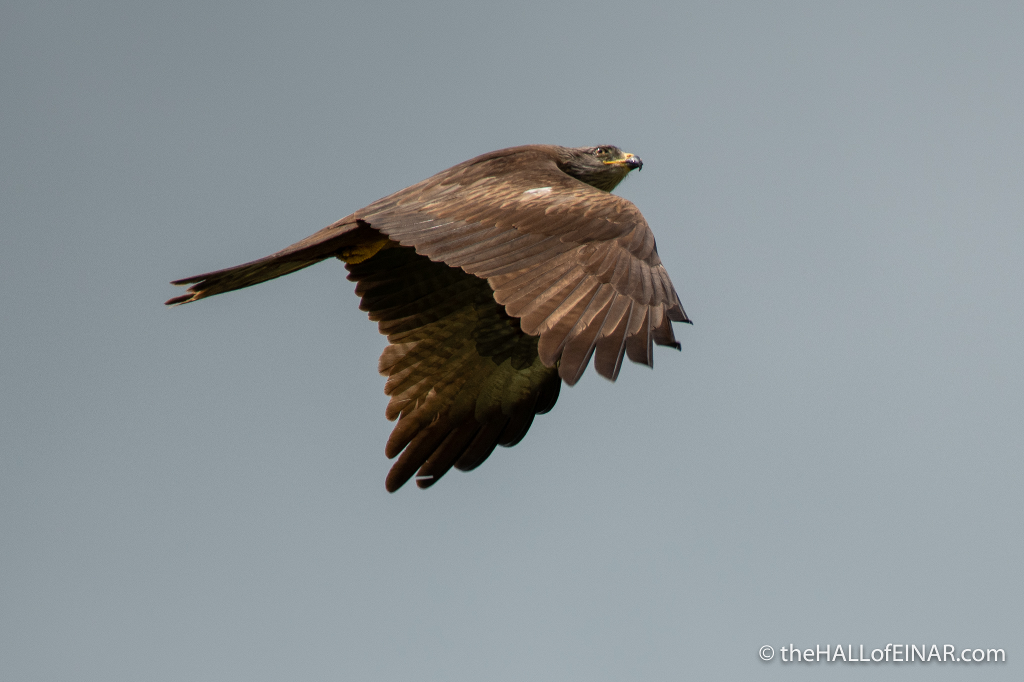 Black Kite - The Hall of Einar - photograph (c) David Bailey (not the)