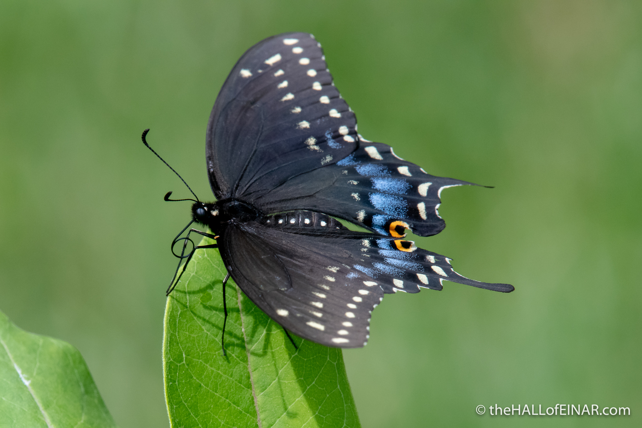 Black swallowtail - Papilio polyxenes - The Hall of Einar - photograph (c) David Bailey (not the)