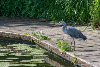 Grey Heron - The Hall of Einar - photograph (c) David Bailey (not the)