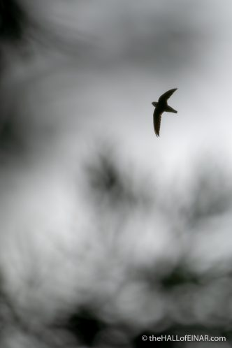 Chimney Swift - Chaetura pelagica - The Hall of Einar - photograph (c) David Bailey (not the)