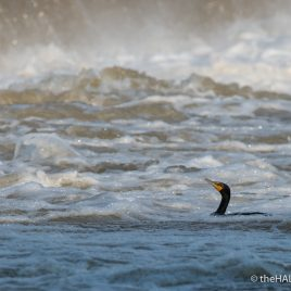 Double Crested Cormorant at Great Falls - The Hall of Einar - photograph (c) David Bailey (not the)