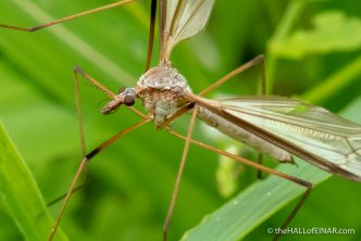 Cranefly - The Hall of Einar - photograph (c) David Bailey (not the)