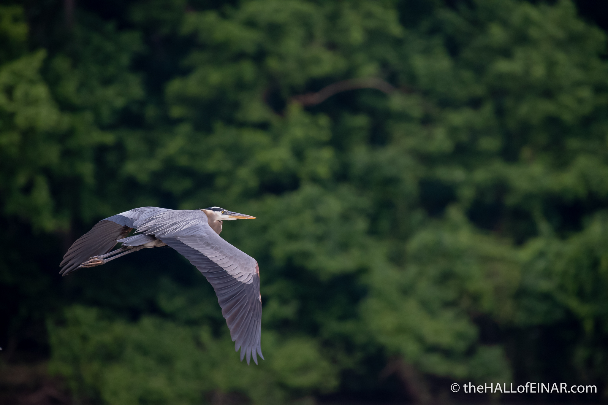 Great Blue Heron at Great Falls - The Hall of Einar - photograph (c) David Bailey (not the)