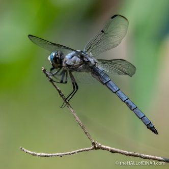 Great Blue Skimmer - Libellula vibrans - The Hall of Einar - photograph (c) David Bailey (not the)