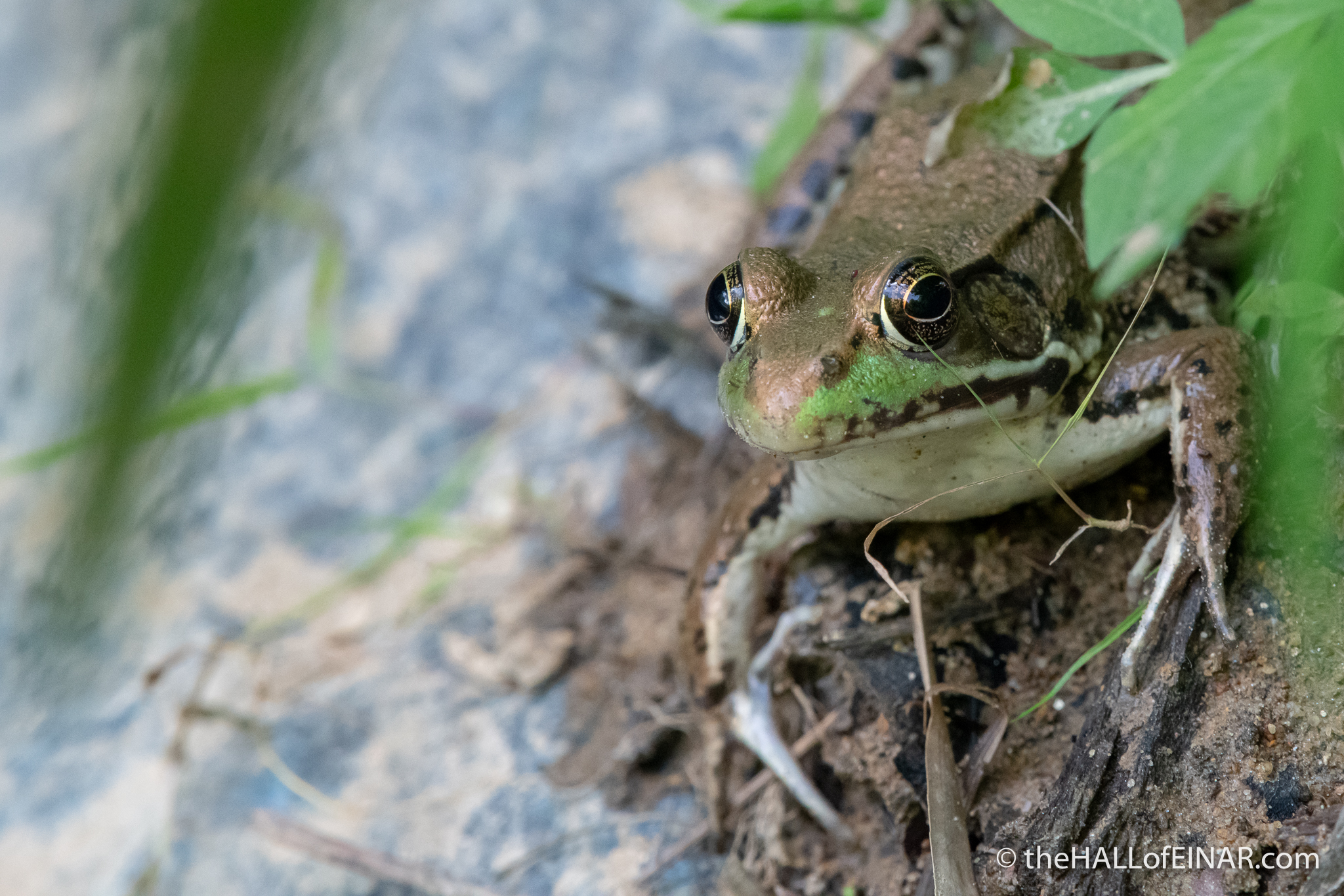 Green Frog - Lithobates clamitans - The Hall of Einar - photograph (c) David Bailey (not the)