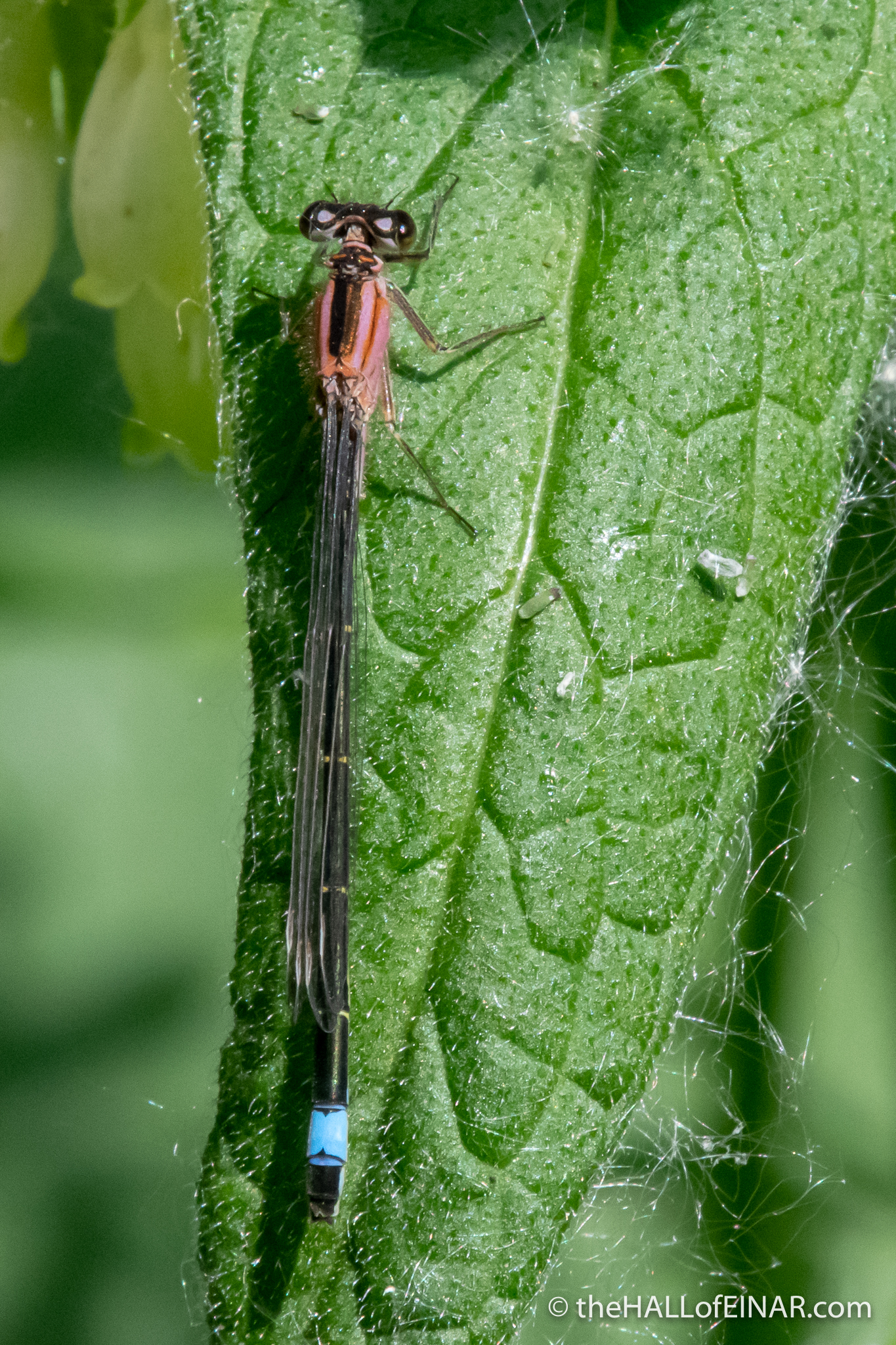 Blue-tailed Damselfly - Ham Wall - The Hall of Einar - photograph (c) David Bailey (not the)