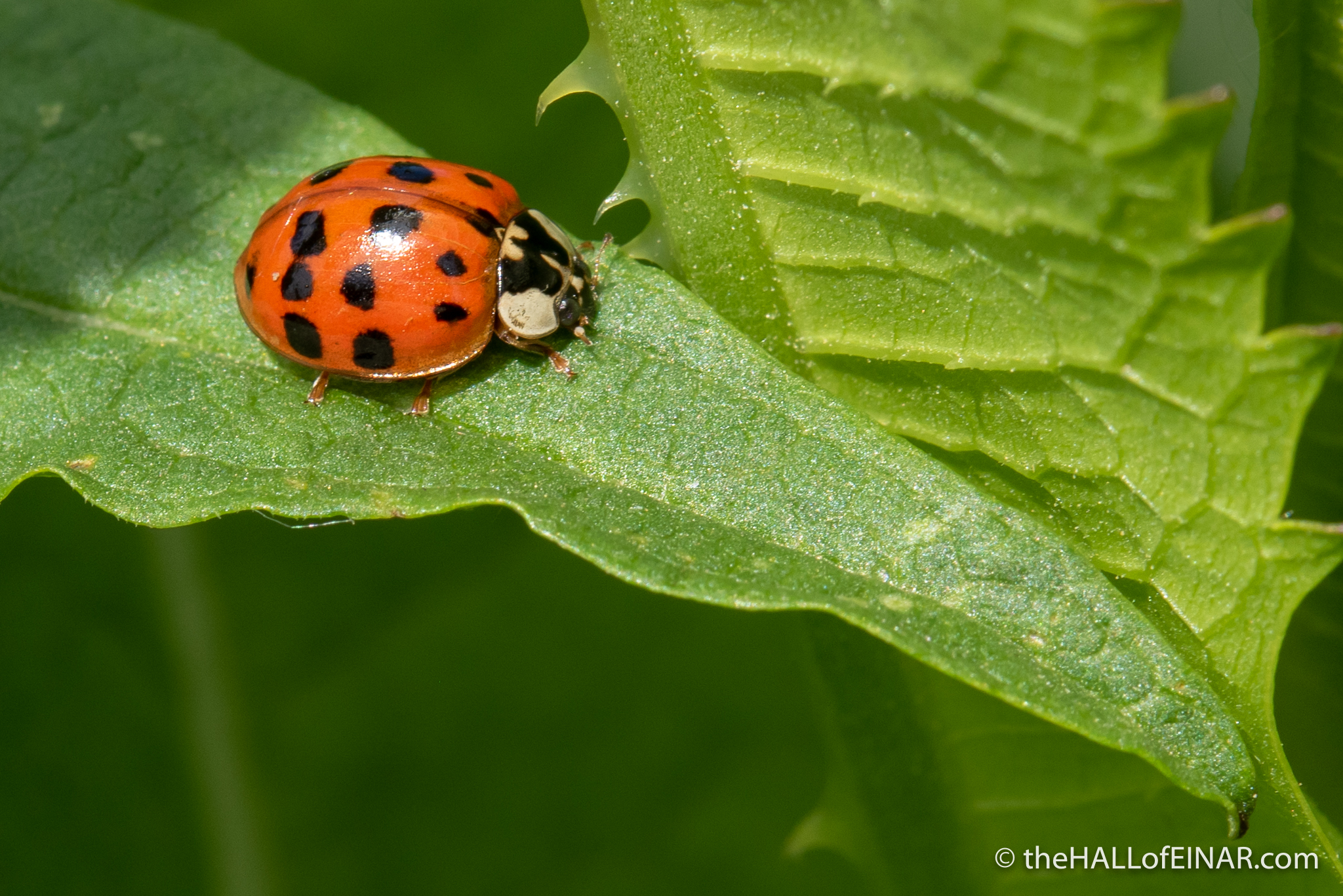 Harlequin Ladybird - The Hall of Einar - photograph (c) David Bailey (not the)