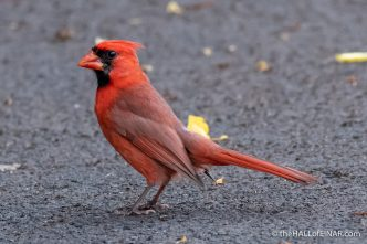 Northern Cardinal - The Hall of Einar - photograph (c) David Bailey (not the)