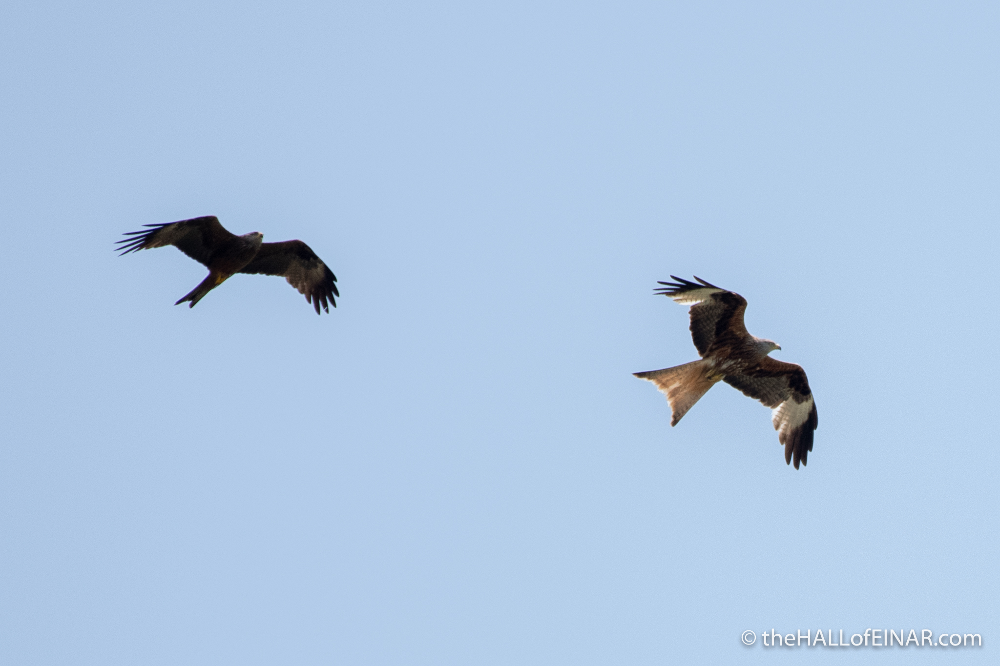 Red Kite and Black Kite - The Hall of Einar - photograph (c) David Bailey (not the)
