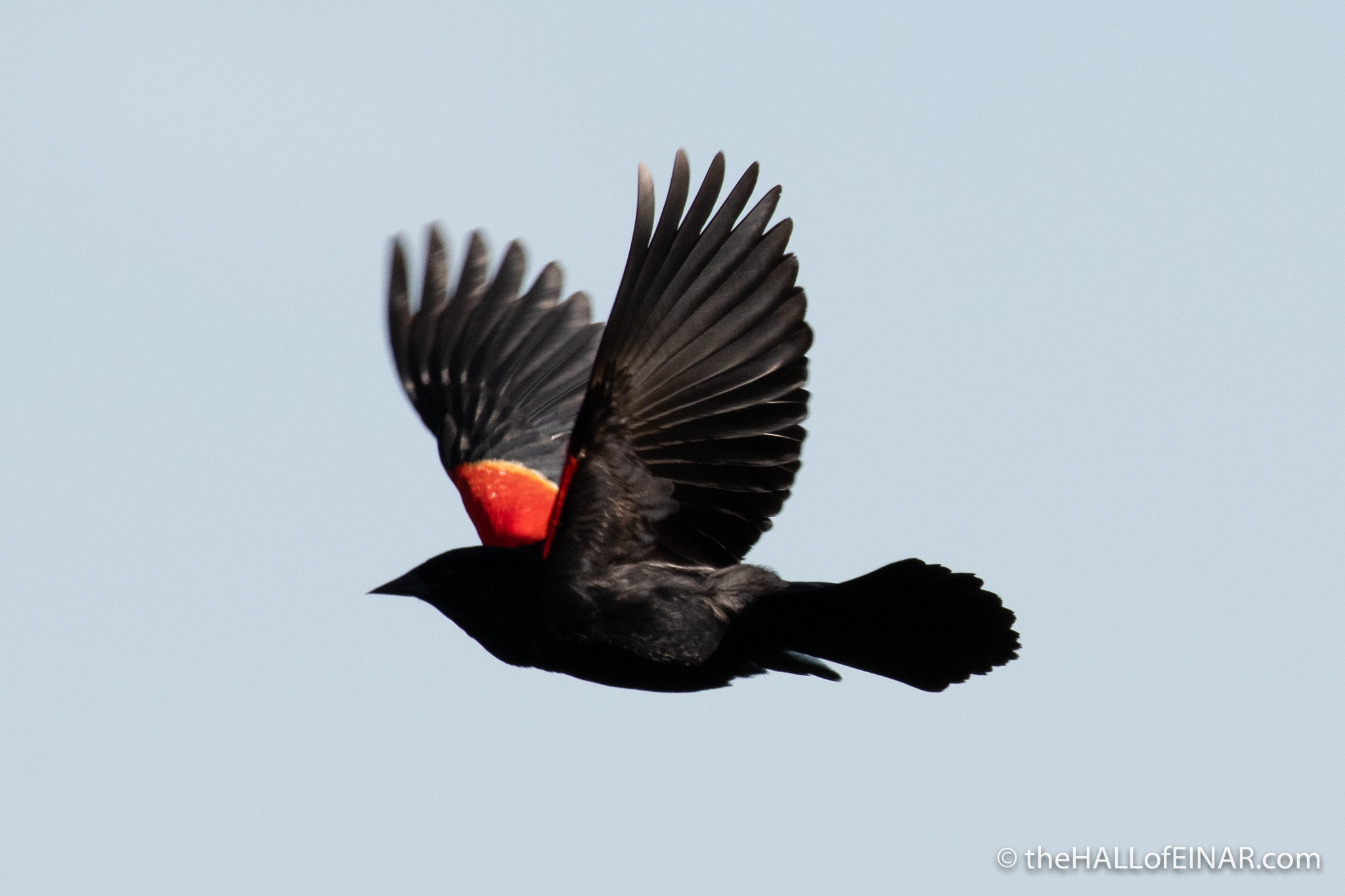 Red-Winged Blackbird - The Hall of Einar - photograph (c) David Bailey (not the)