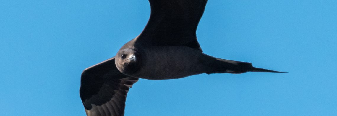 Arctic Skua - The Hall of Einar - photograph (c) David Bailey (not the)