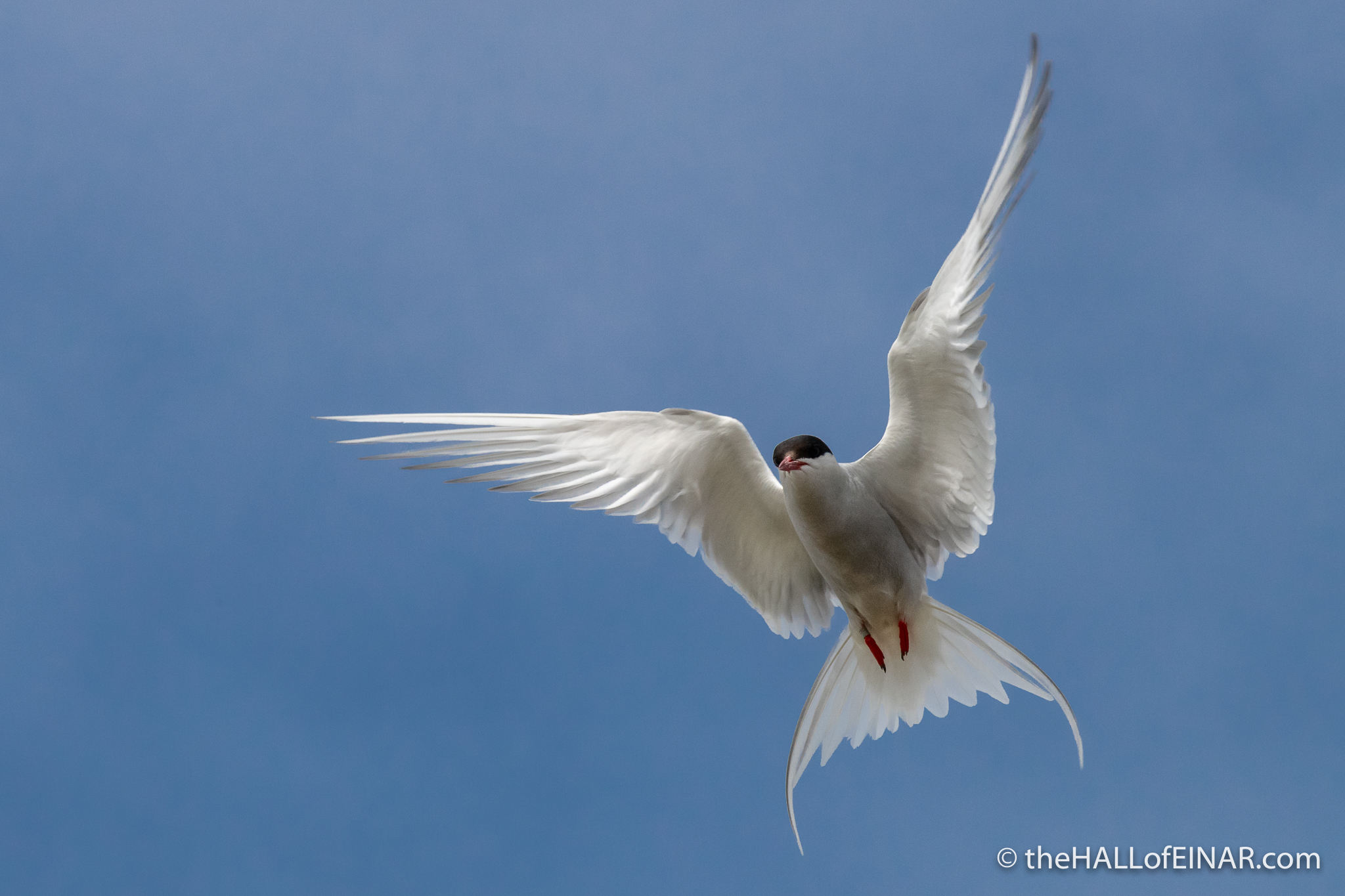 Arctic Tern - The Hall of Einar - photograph (c) David Bailey (not the)
