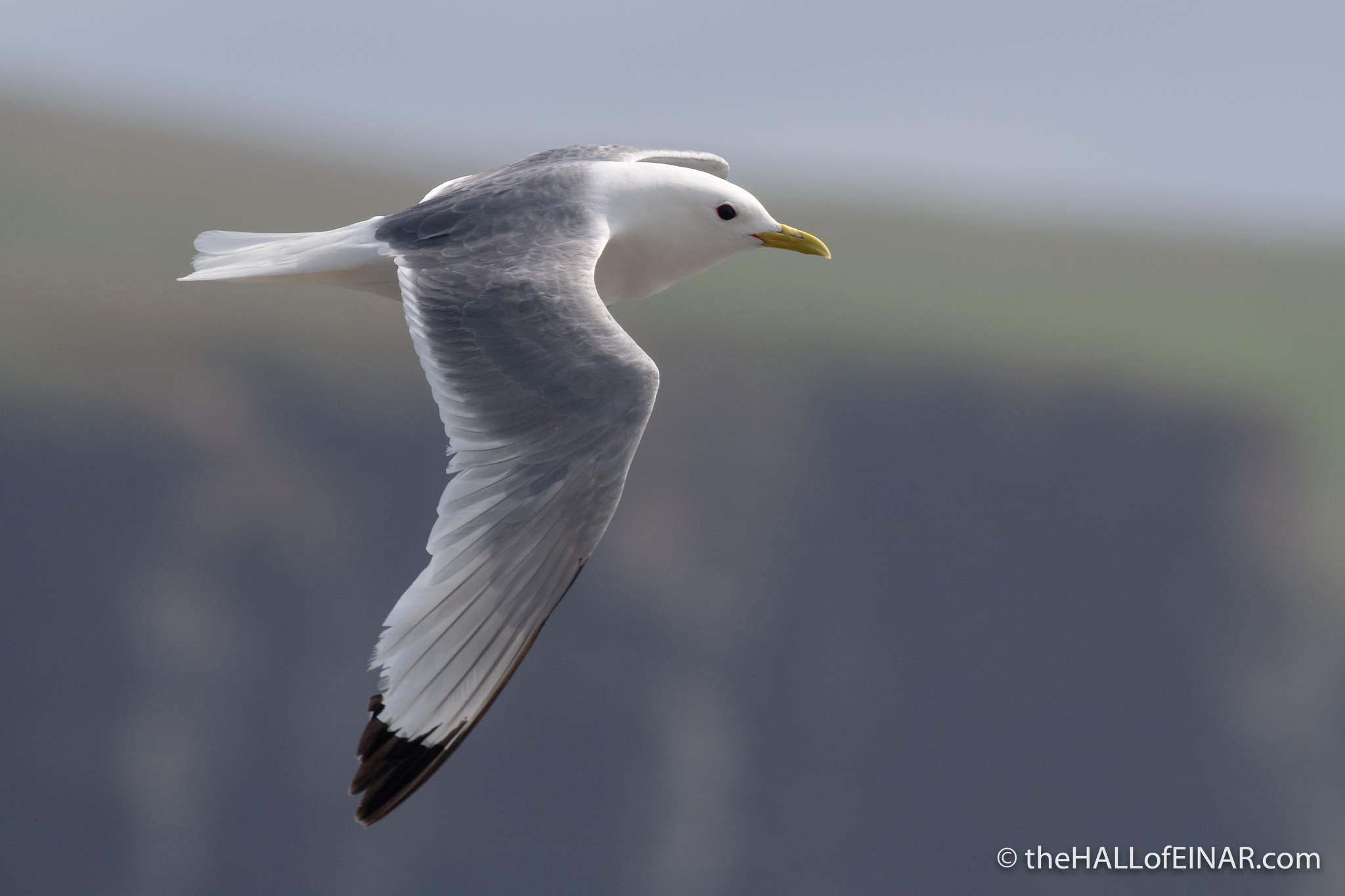 Kittiwake - The Hall of Einar - photograph (c) David Bailey (not the)