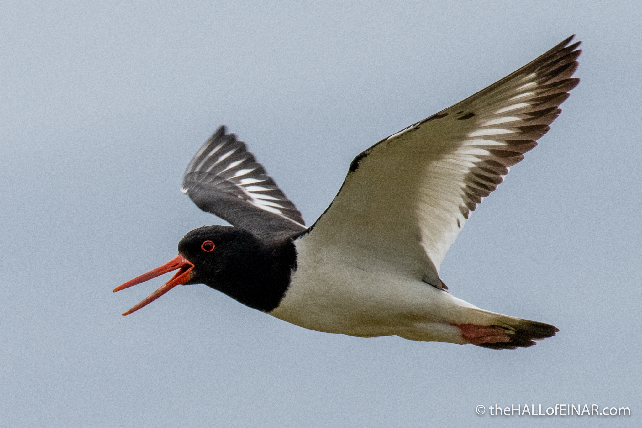 Oystercatcher - The Hall of Einar - photograph (c) David Bailey (not the)