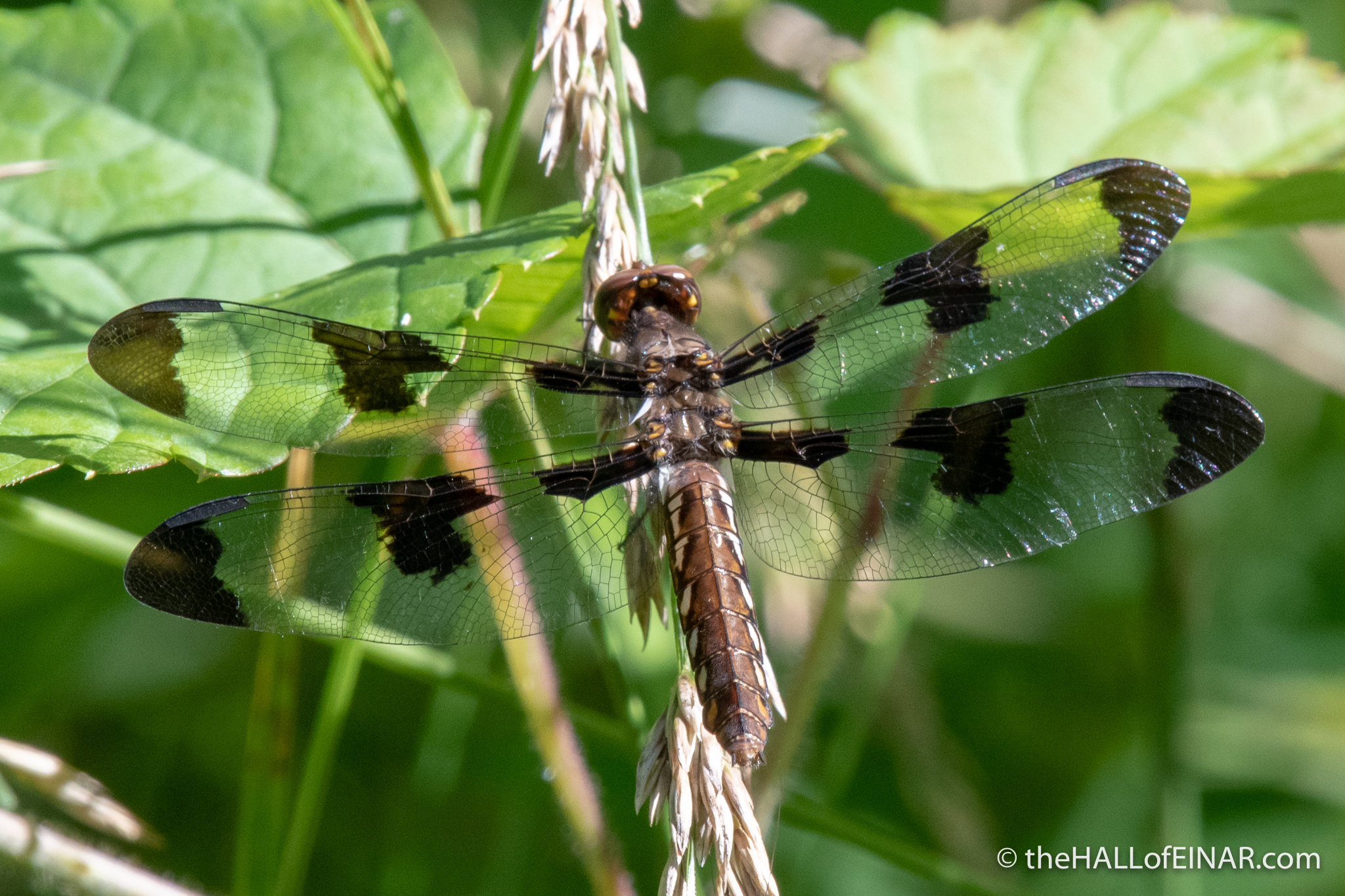 Twelve-Spotted Skimmer - The Hall of Einar - photograph (c) David Bailey (not the)