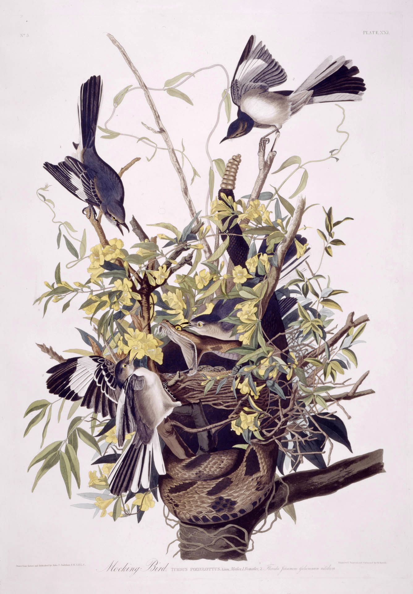 Audubon - Northern Mockingbird