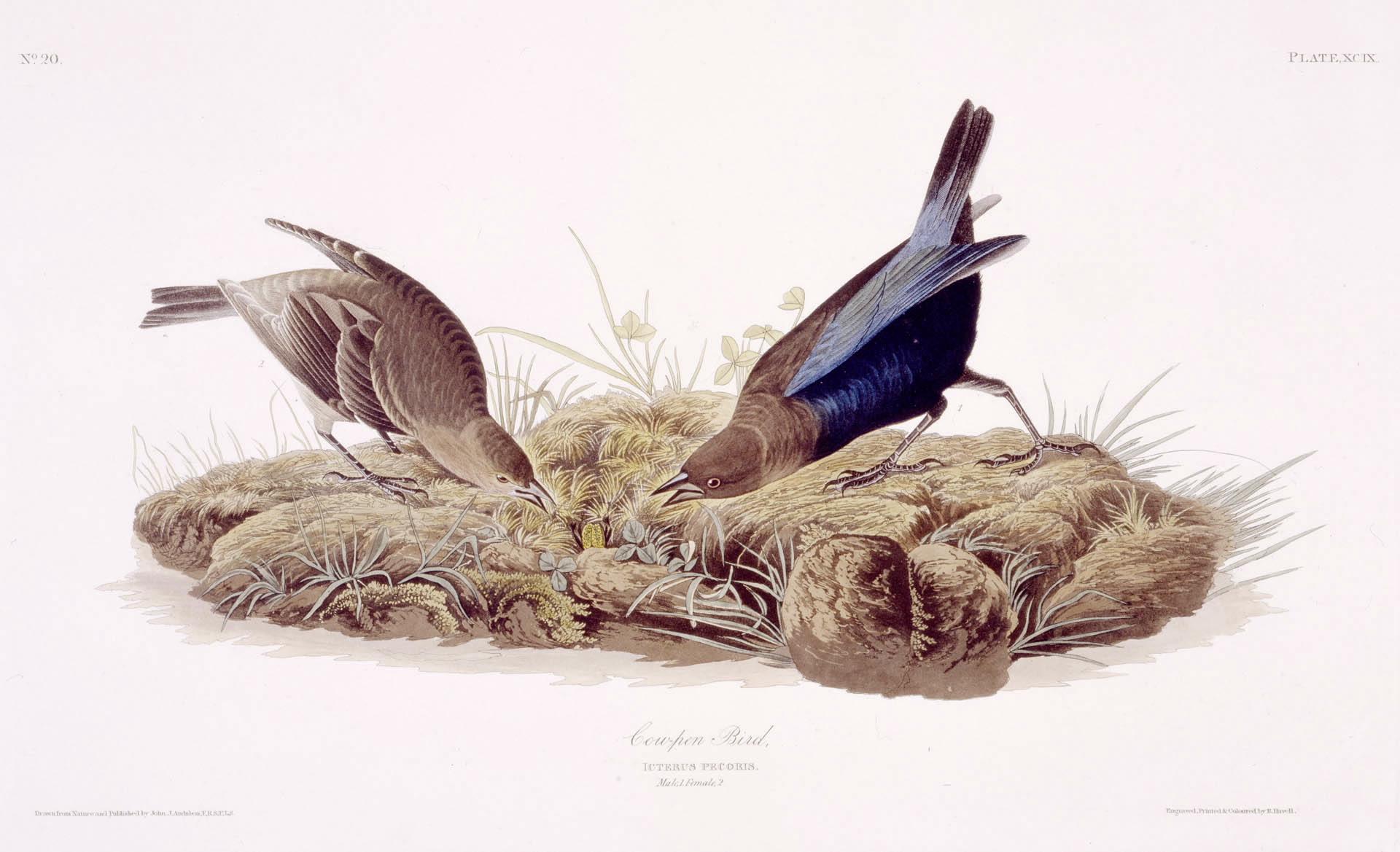 Audubon - Brown-Headed Cowbird