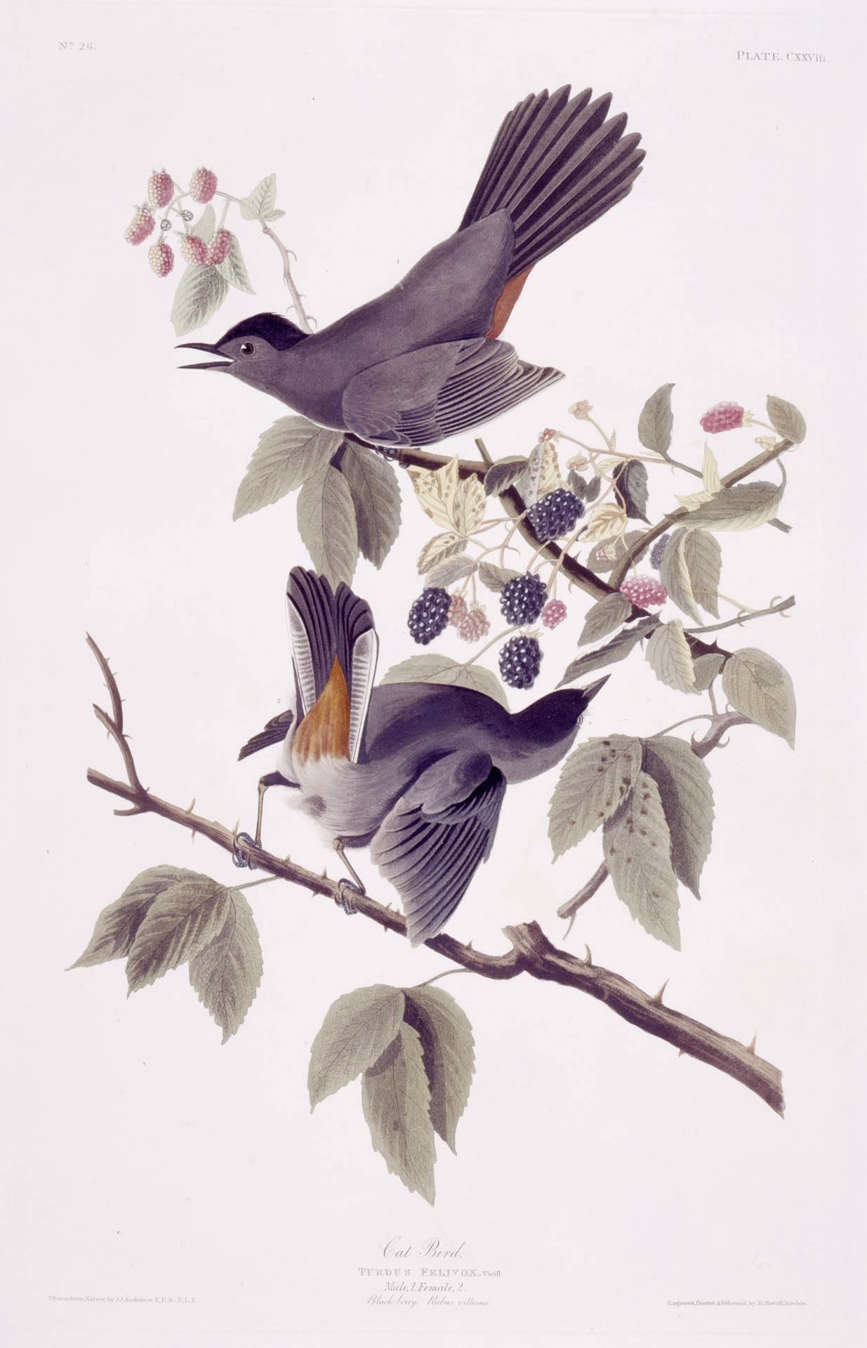 Audubon - Gray Catbird