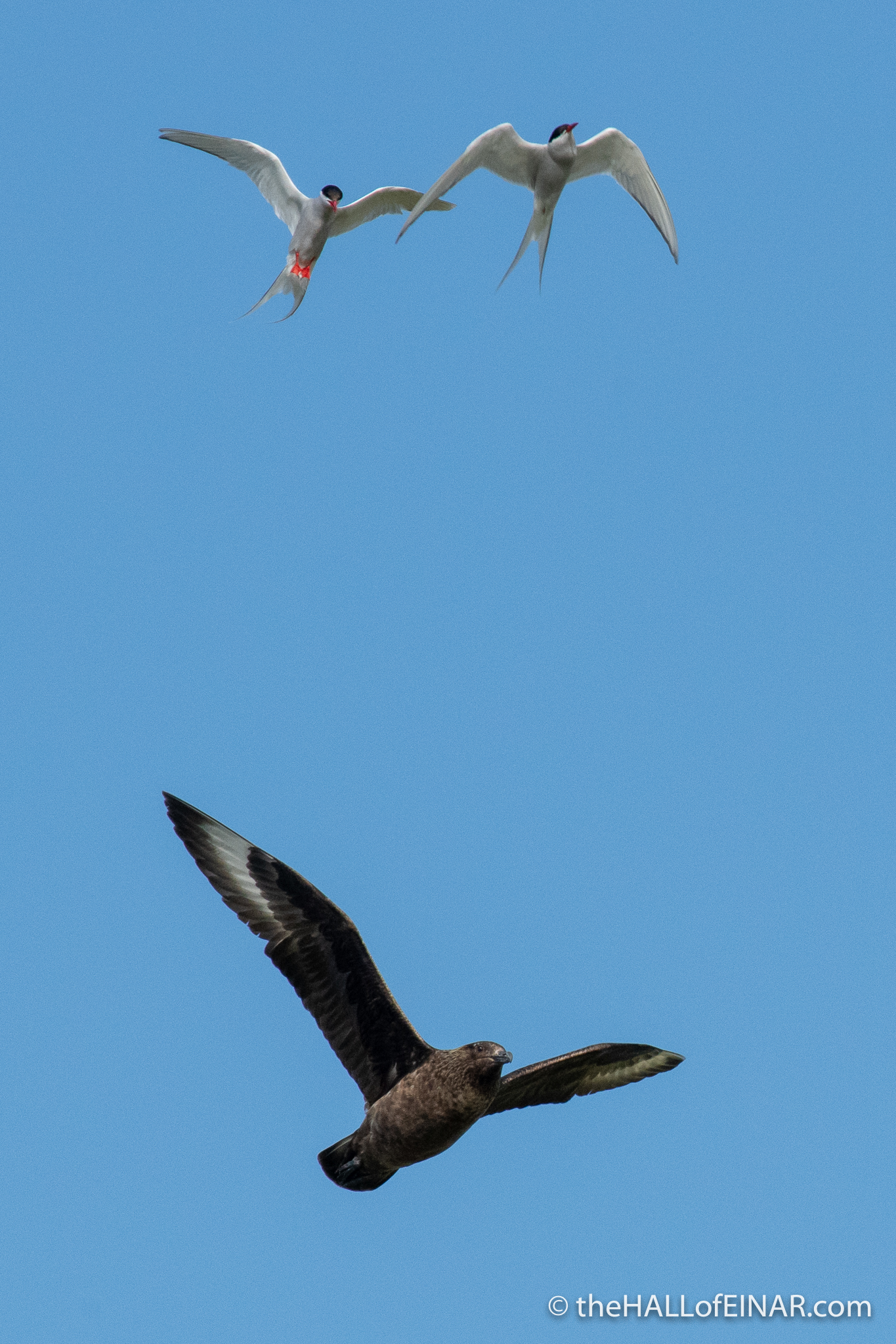 Arctic Terns v Great Skua - The Hall of Einar - photograph (c) David Bailey (not the)