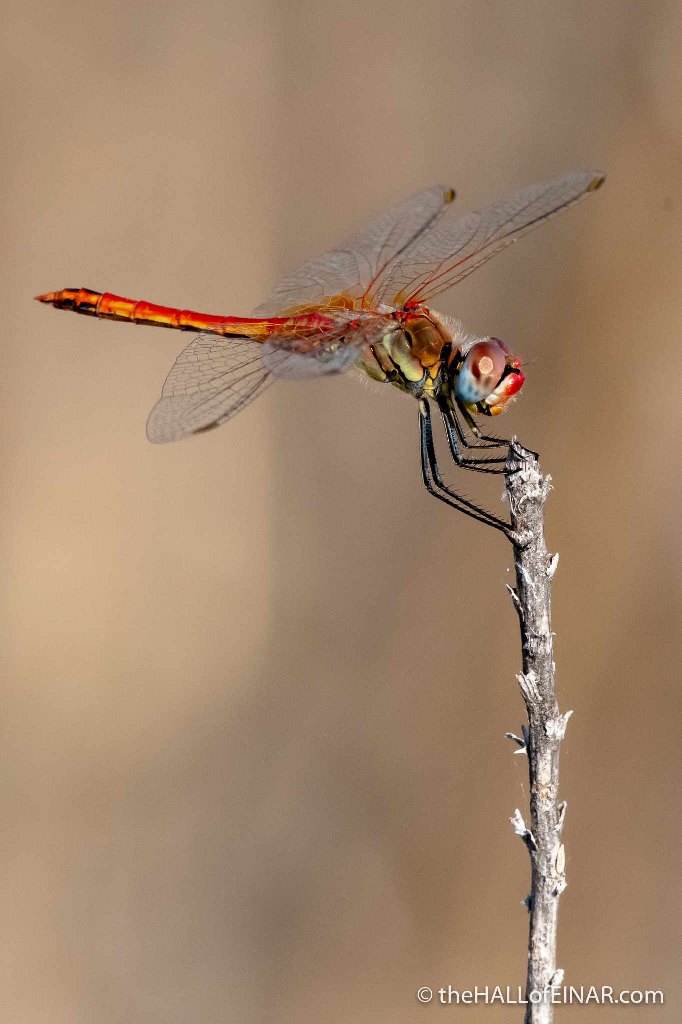 Red-Veined Darter Dragonfly - The Hall of Einar - photograph (c) David Bailey (not the)