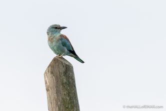 European Roller - The Hall of Einar - photograph (c) David Bailey (not the)