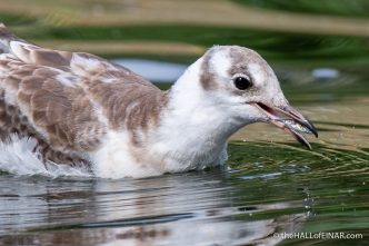 Juvenile Black-Headed Gull - The Hall of Einar - photograph (c) David Bailey (not the)