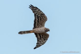 Montagu's Harrier - The Hall of Einar - photograph (c) David Bailey (not the)