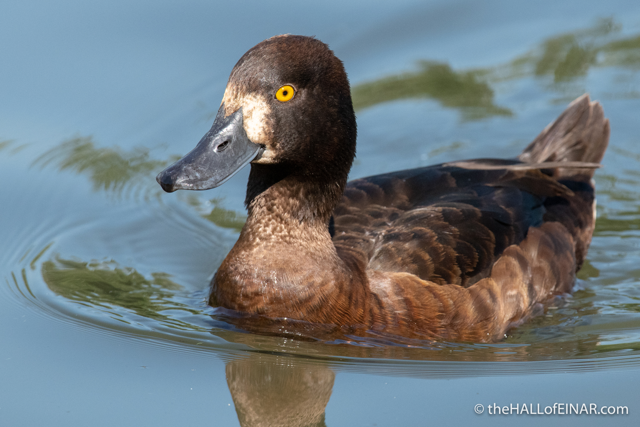 Tufted Duck - The Regent's Park - The Hall of Einar - photograph (c) David Bailey (not the)