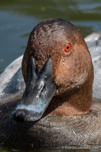Pochard - The Hall of Einar - photograph (c) David Bailey (not the)