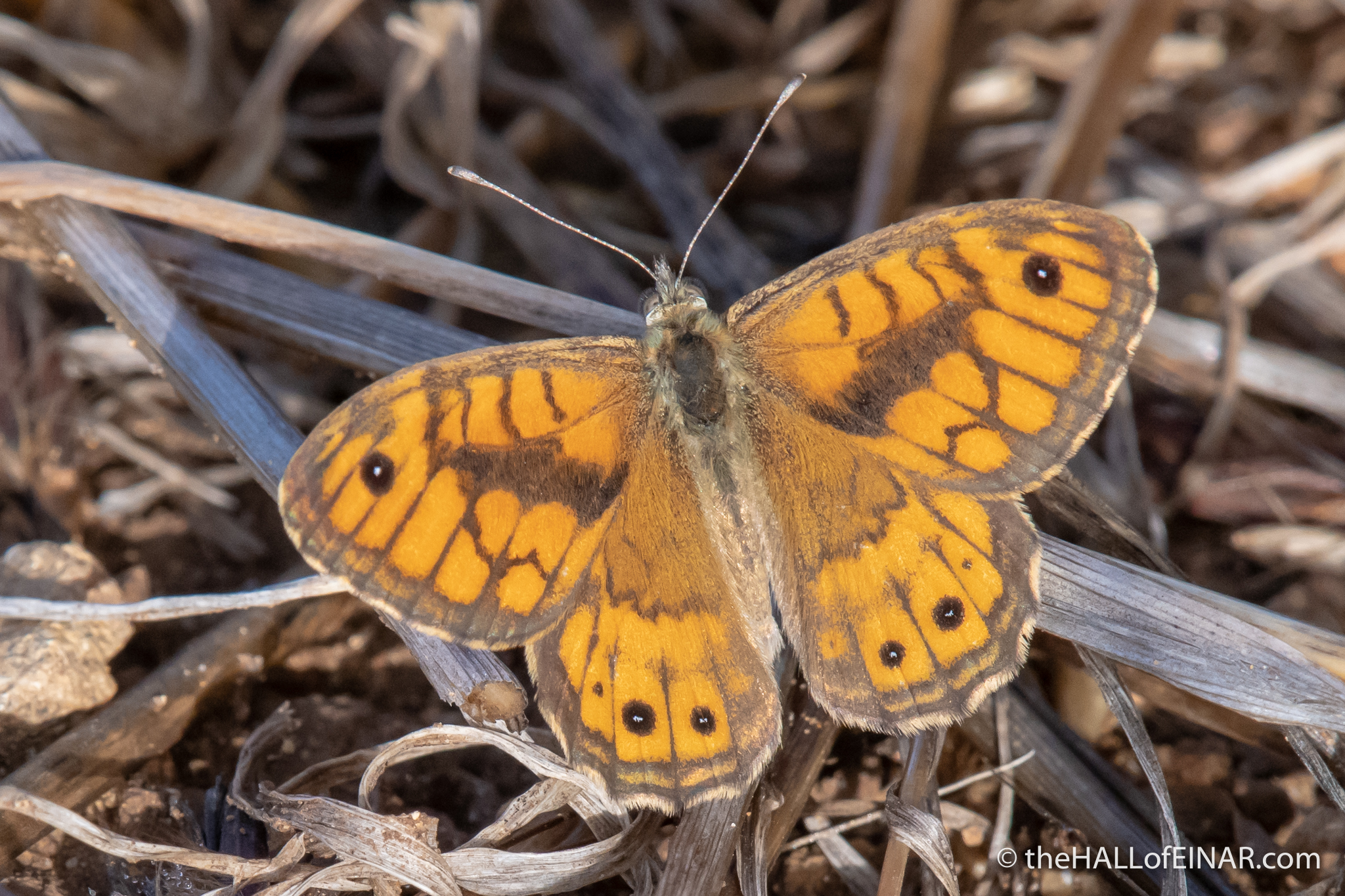 Wall Brown Butterfly - The Hall of Einar - photograph (c) David Bailey (not the)