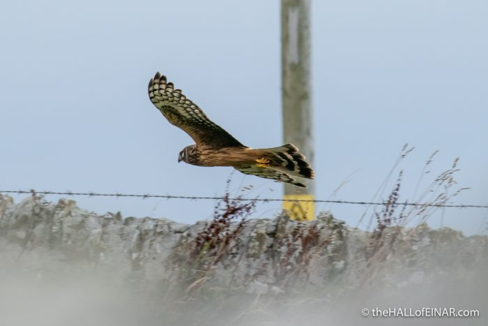 Hen Harrier at Einar - The Hall of Einar - photograph (c) David Bailey (not the)