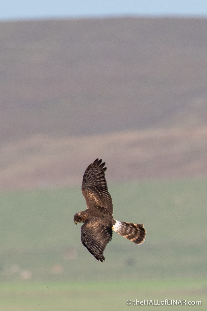 Hen Harrier - The Hall of Einar - photograph (c) David Bailey (not the)