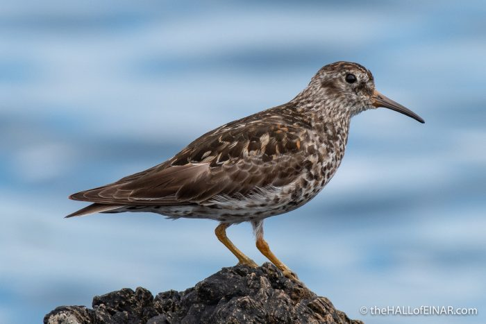 Purple Sandpiper - The Hall of Einar - photograph (c) David Bailey (not the)