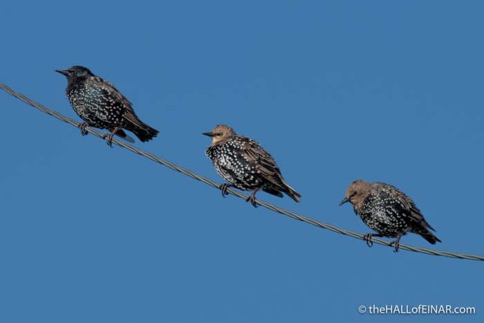 Starlings - The Hall of Einar - photograph (c) David Bailey (not the)