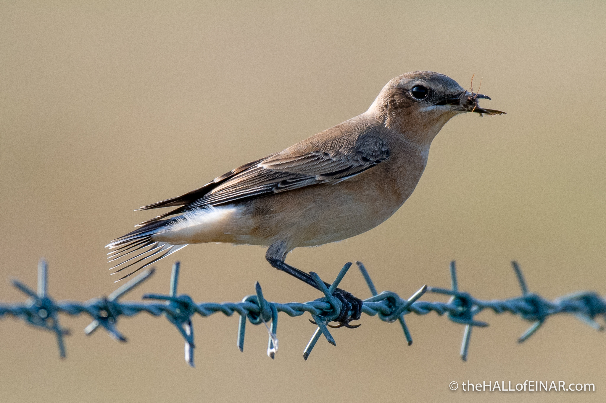 Wheatear - The Hall of Einar - photograph (c) David Bailey (not the)