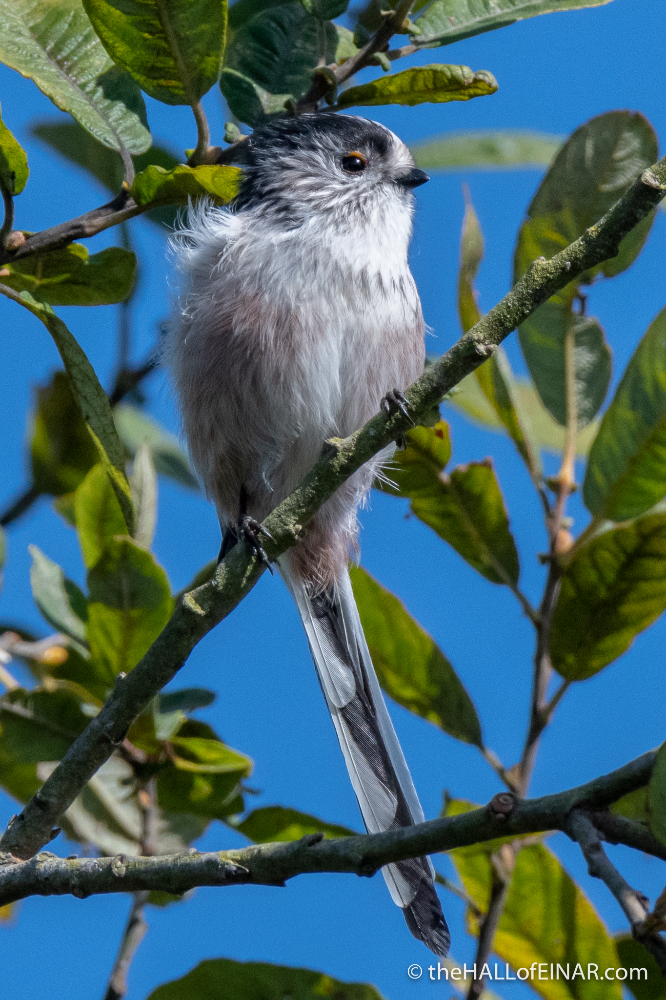 Long-Tailed Bushtits RSPB Ham Wall - The Hall of Einar - photograph (c) David Bailey (not the)
