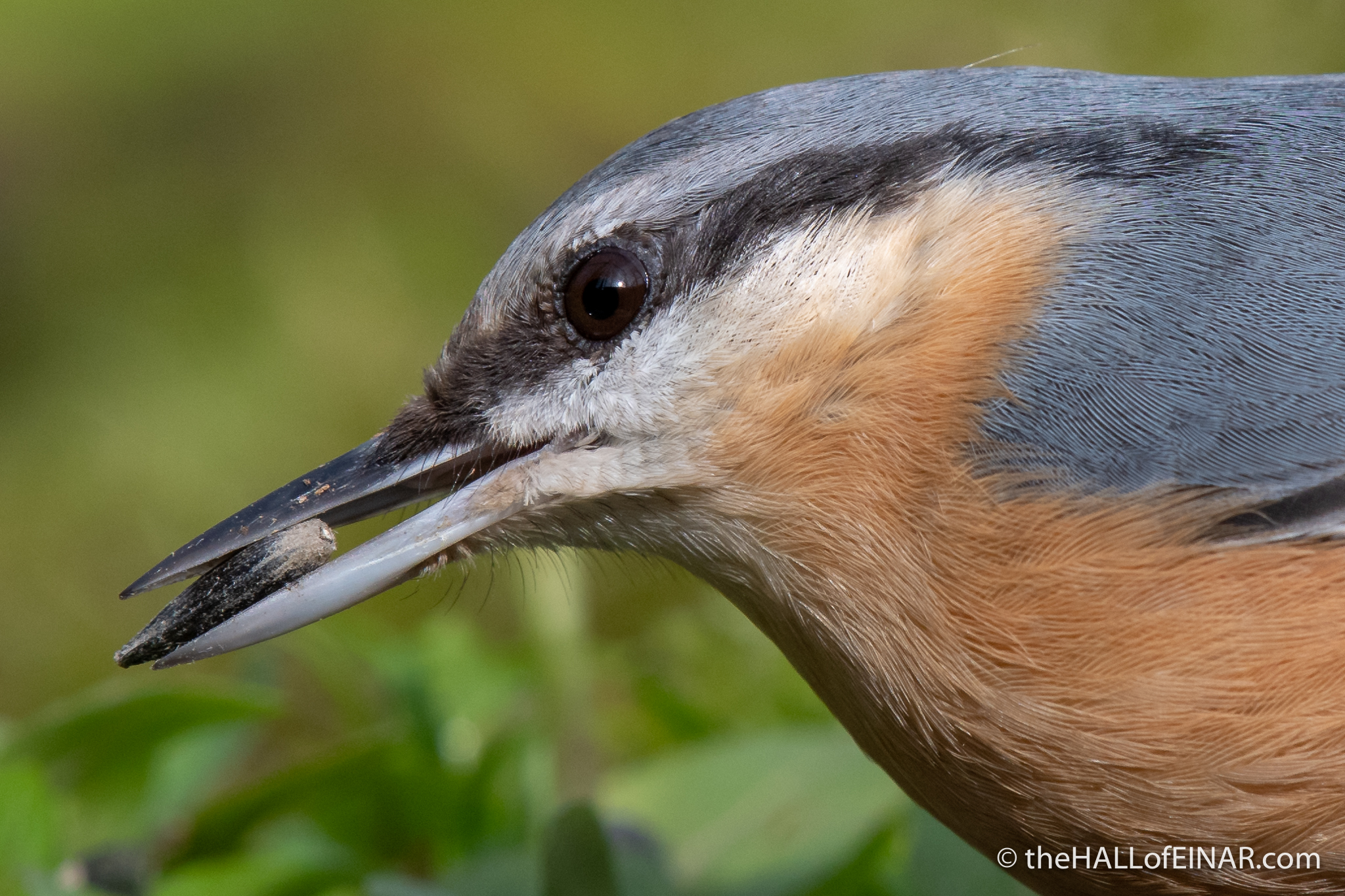 Nuthatch - Alviano - The Hall of Einar - photograph (c) David Bailey (not the)