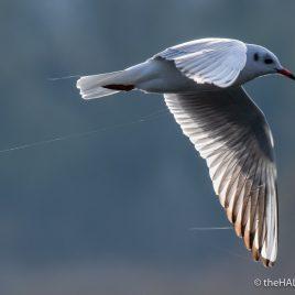 Black Headed Gull - Alviano - The Hall of Einar - photograph (c) David Bailey (not the)