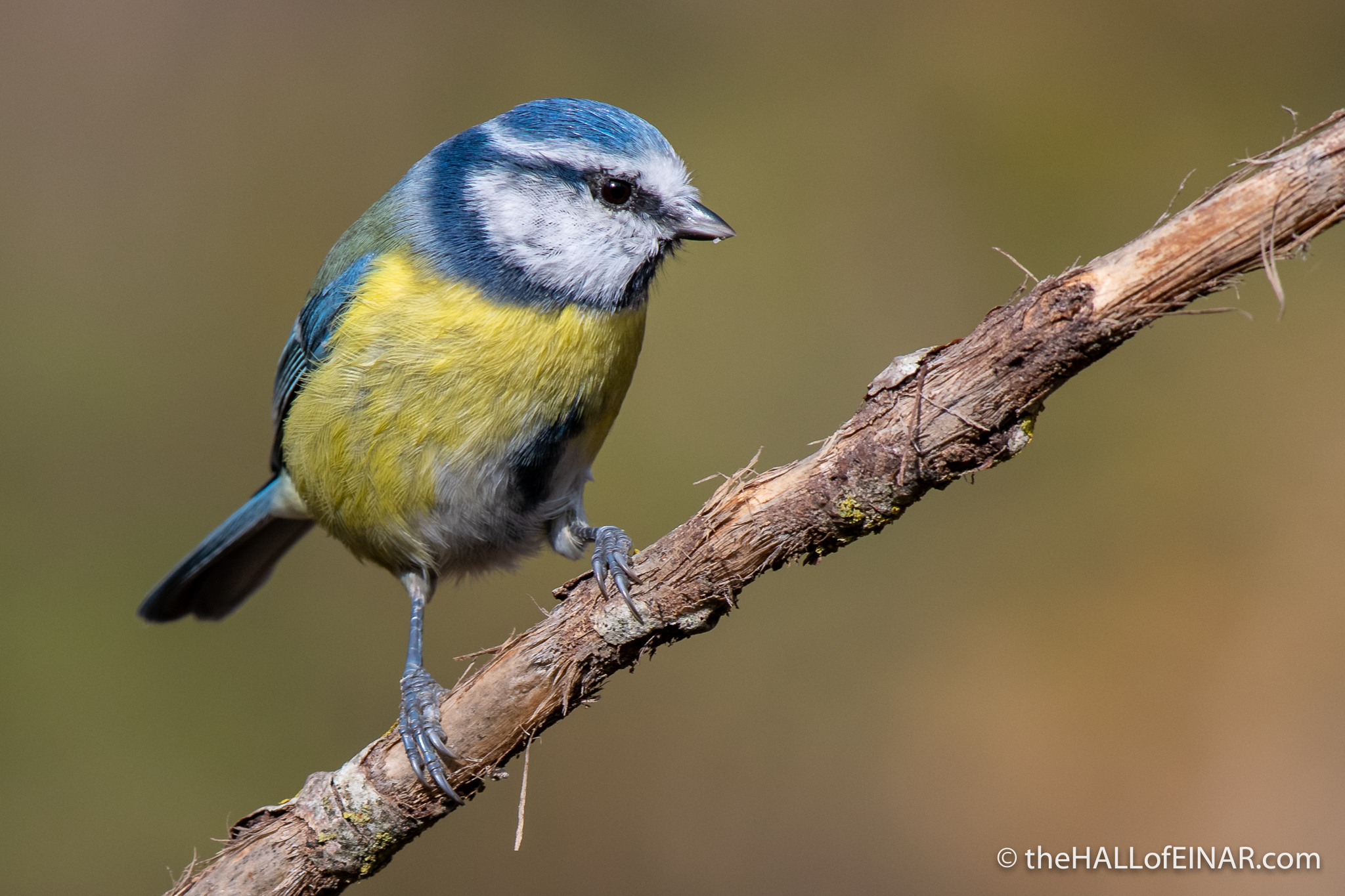 Blue Tit - Alviano - The Hall of Einar - photograph (c) David Bailey (not the)