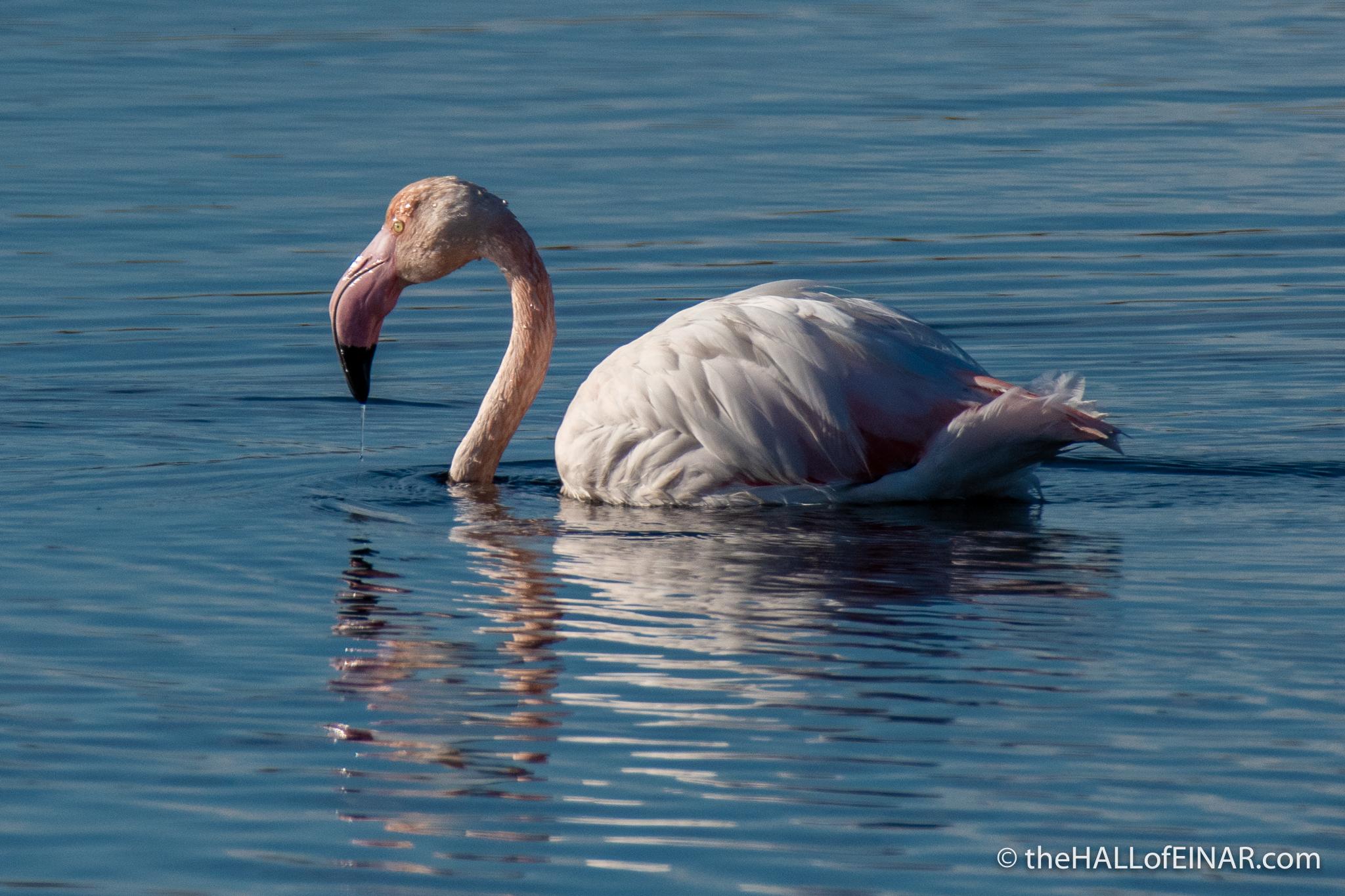 Flamingo - Orbetello - The Hall of Einar - photograph (c) David Bailey (not the)