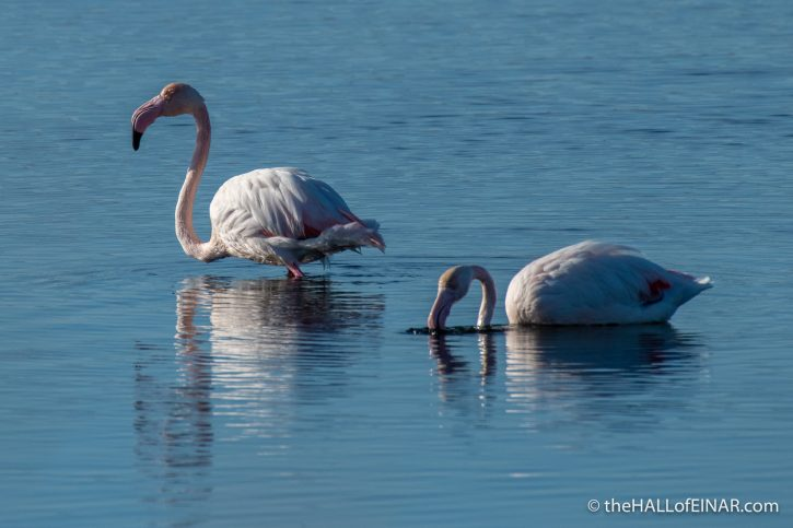Flamingo - Orbetello - The Hall of Einar - photograph (c) David Bailey (not the)