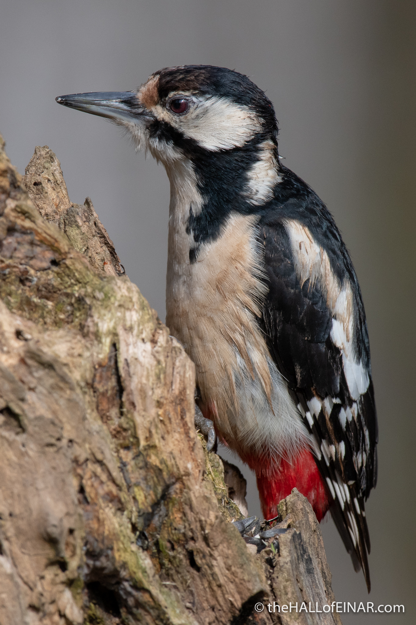 Great Spotted Woodpecker - Alviano - The Hall of Einar - photograph (c) David Bailey (not the)