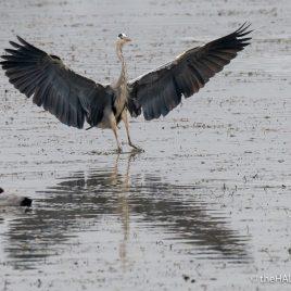 Grey Heron - Alviano - The Hall of Einar - photograph (c) David Bailey (not the)